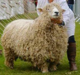 Devon and Cornwall longwool ram