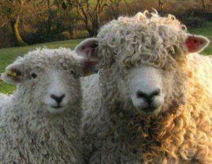 Devon and Cornwall longwool ewe and lamb