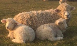 Devon and Cornwall Longwool ewe and lambs